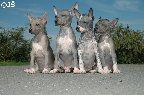 litter E peruvian hairless dog
