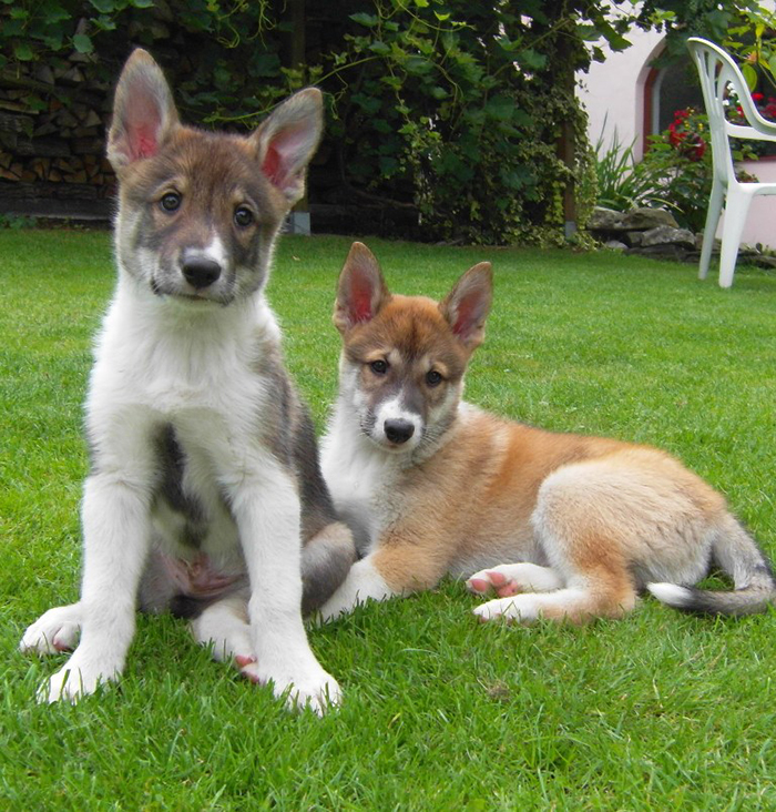Westsiberian laika and peruvian hairless dog kennel Anika ...
